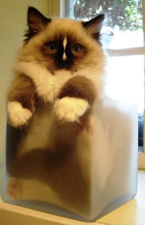 Charlie   A Seal Mitted with an Hourglass Blaze Ragdoll Cat from http://www.soulmateragdolls.com/DR/