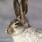 """Rabbit Totem: Nocturnal, creatures of the moon, caution, resourceful, sexual, fierce when cornered, gentle, earthy, dark sight vision, guarded, secretive, one type of animal that """"falls in love"""" Message: Intuition"""