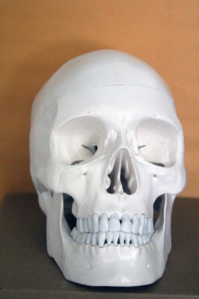Axis Scientific 3 Part Life Size Human Skull with Removable Calvarium #AxisScientific