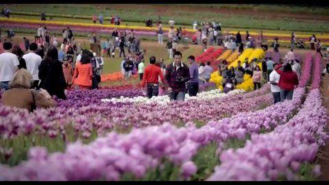 Tesselaar Tulip Festival mid Sept - mid Oct Yarra Ranges, Victoria, Australia. # Tulips