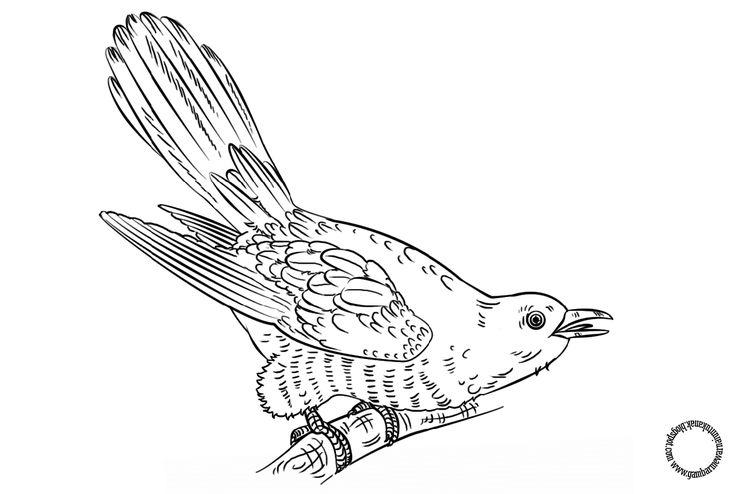 Gambar Mewarnai Burung Cuckoo Untuk Anak