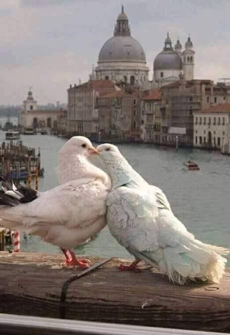 I didn't know pigeons were romantic!
