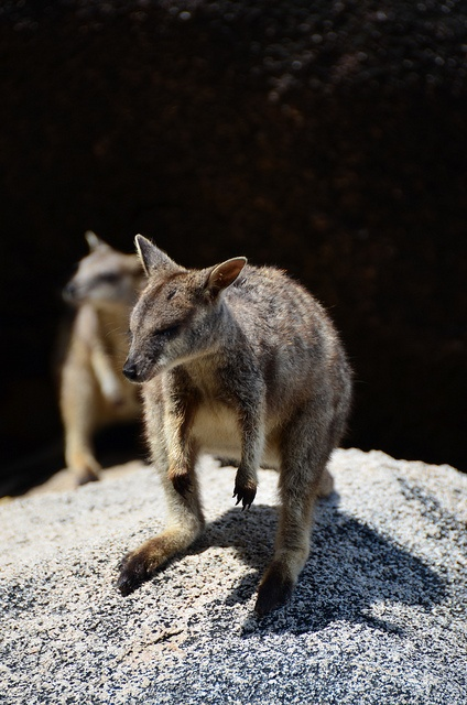 Rock wallaby, Magnetic Island