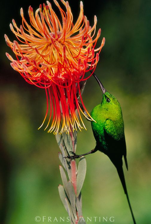 Malachite sunbird, Nectarinia famosa, feeding on protea flower, Leucospermum reflexum, South Africa