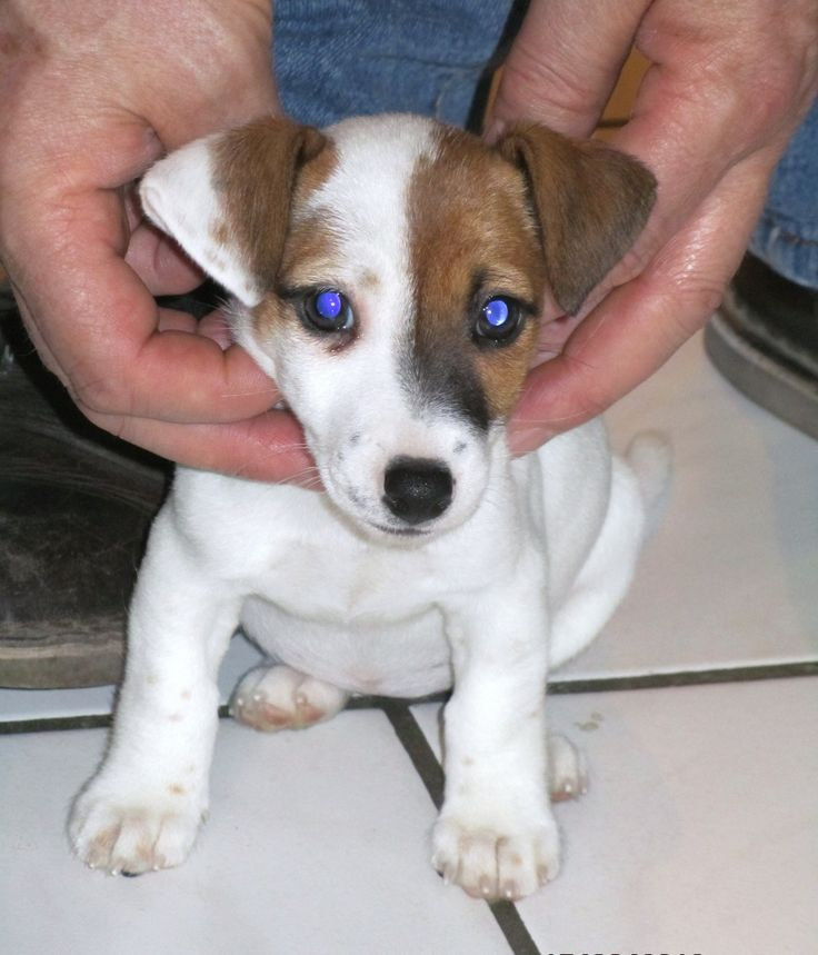 jack russell | jack russell   Omg.......Maynard was so adorable when he was little just like this little one:)