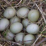 Grey partridge (Perdix perdix) Birds Image Facts and Eggs Details