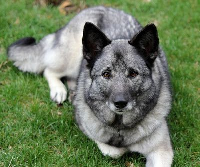 About Dog Norwegian Elkhound: Training Your Norwegian Elkhound to Listen to You