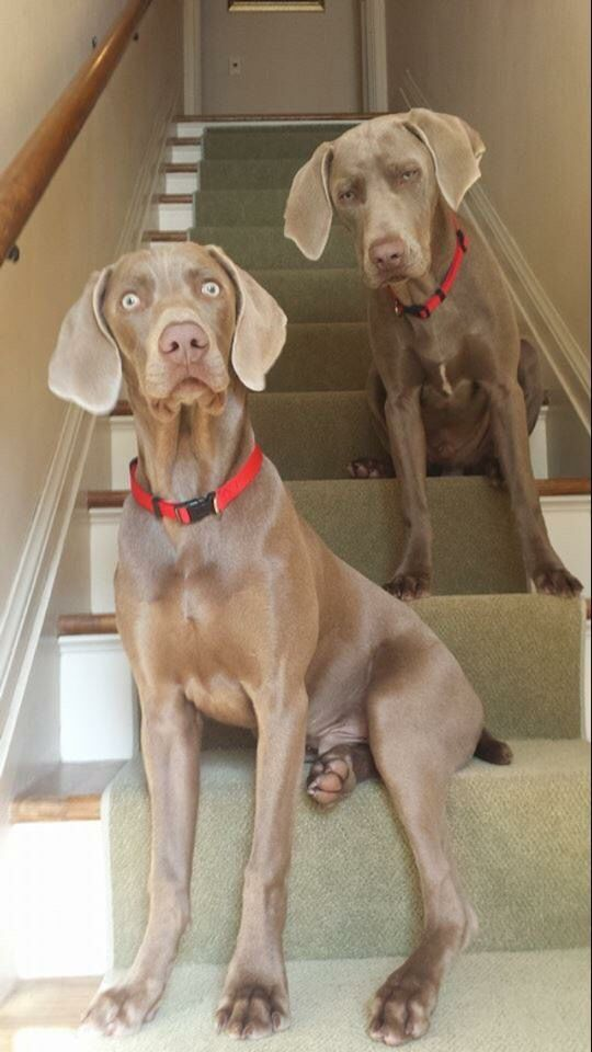 Weimaraners - Kasper and Klaus - It's not nice to stare.