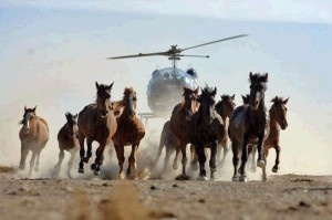 Wild Horses In Nevada Being Run To Death By Bureau Of Land Management on http://news.petpardons.com