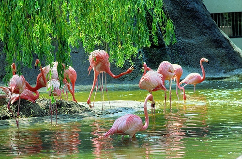 La Palmyre zoo flamingos  ©CRTPC  http://www.holidays-france-atlantic.com