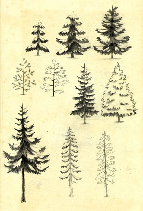 Pine and Spruce sketches::  Cute as gift tags or framed.