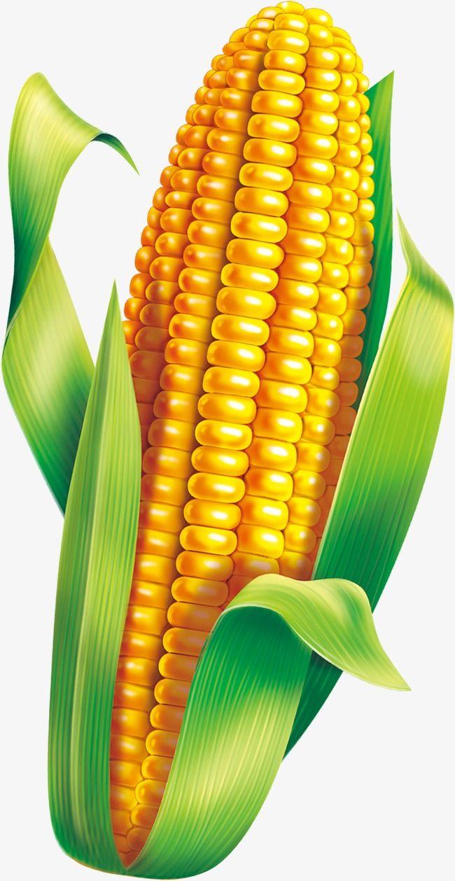 Corn Material Fruit Art Fruits Drawing Fruit Painting