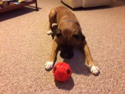Another happy customer enjoying their Teeza Ball. Wonder what treats they use?