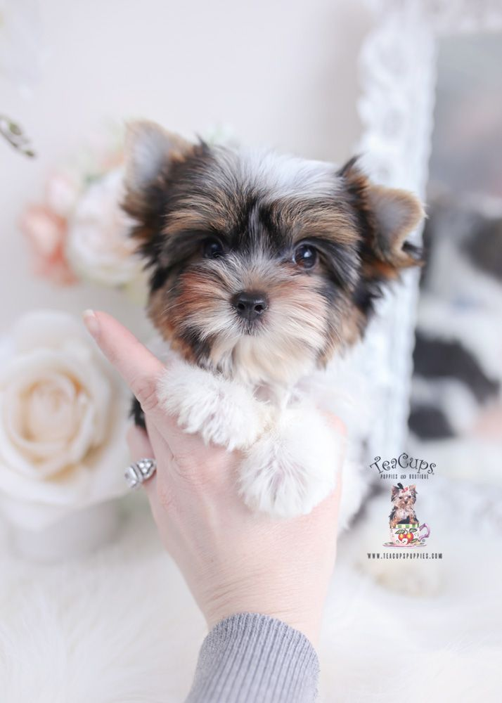 Parti Yorkie Puppy For Sale Teacup Puppy 045 In 2020 Teacup Puppies Yorkie Puppy For Sale Yorkie Puppy