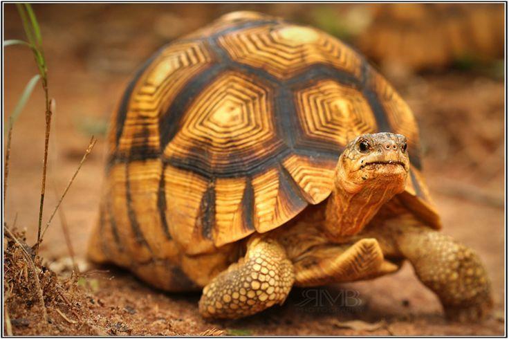 A Ploughshare Tortoise - highly endangered.