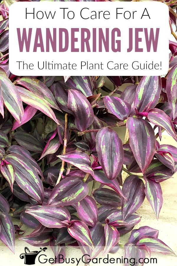 best 25 wandering jew ideas on pinterest outdoor pots and planters deck plants ideas and. Black Bedroom Furniture Sets. Home Design Ideas