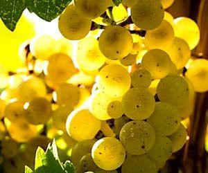 Eine Rebe wie eine große Lady. Was uns der Riesling sagen will. Weinbotschaft: Riesling,die Lady der österreichischen Weinwelt. - http://www.dieweinpresse.at/ladinig-weinbotschaft-riesling-1/