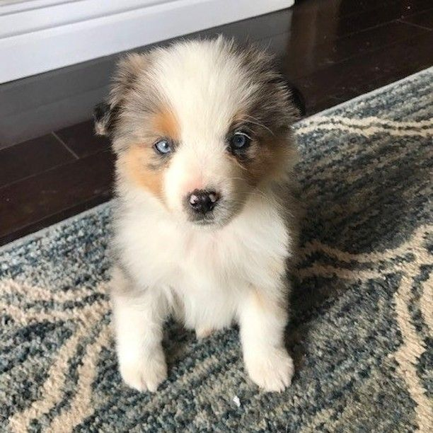 Meet Stormy Puppy Puppiesofinstagram Dogs Dogsofutah Sugarhouse Sugarhousedogs Healthypets Cutie Adorable D In 2020 Dog Lovers Puppies Healthy Pets