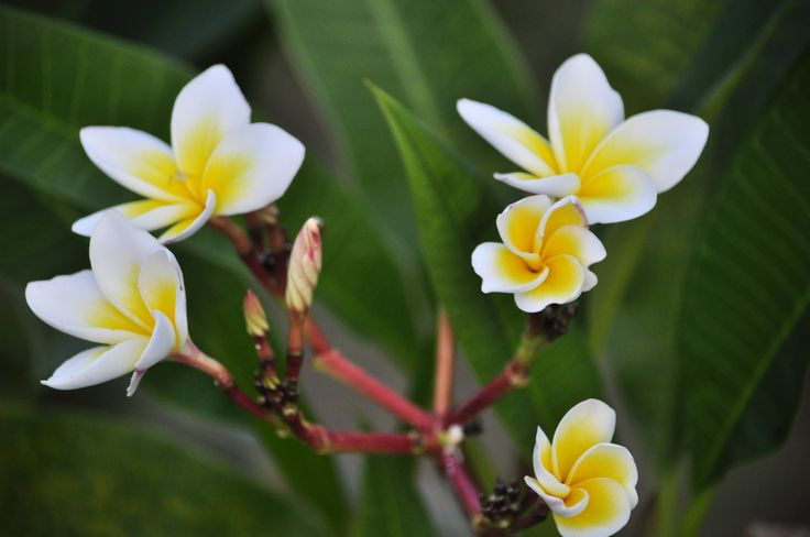 Beautiful plumeria, Phan Thiet