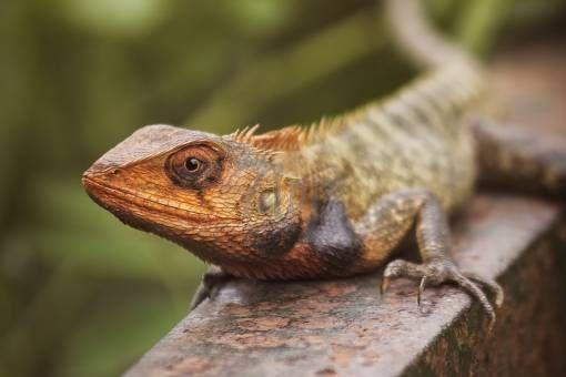 Oriental Garden Lizard by shadpix71 on 71pix.com