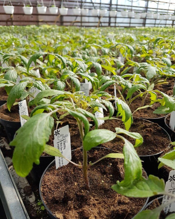 Tomatplantor till ditt växthus?🍅🍅🍅 Vi har börjat sälja, självklart odlade hos oss! #lillahults @lillahultsblommor