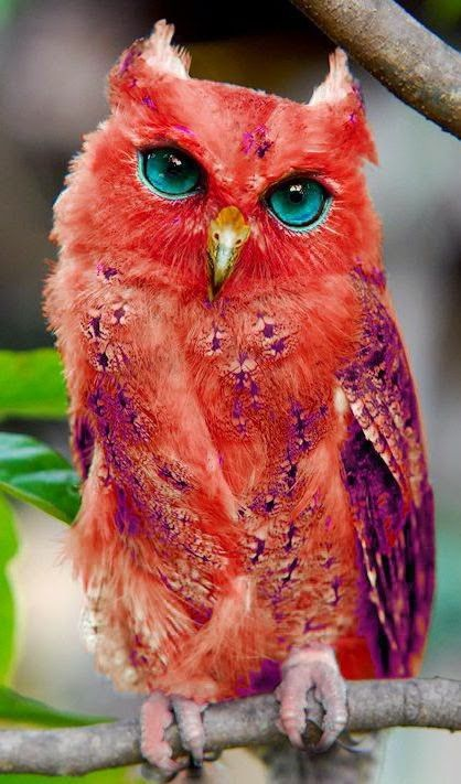Amazingly coloured red owl
