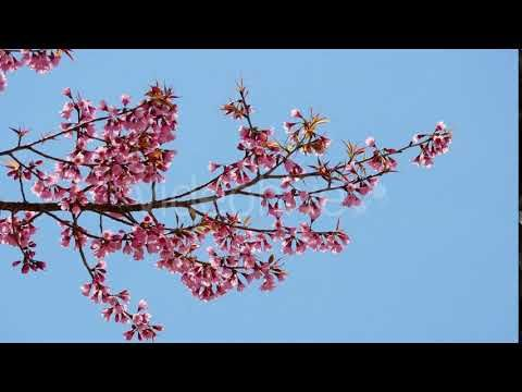 Spring Blossom (Stock Footage)