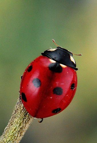 Seven-spot ladybird (Coccinella septempunctata)   by John Horstman (itchydogimages, SINOBUG)