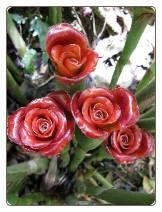 Etlingera Cornerii Siam Rose Torch Ginger Seeds
