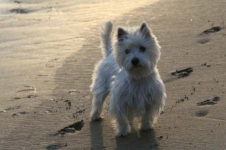 West Highland Terrier en la playa