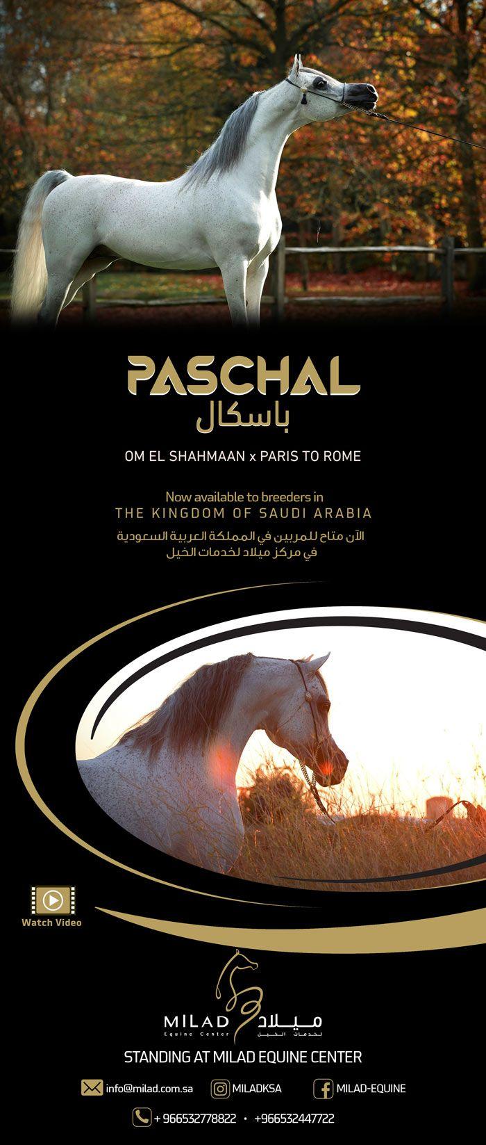 Al Khashab Stud Competing In Paris 2017 Horses Animals Arabian Horse