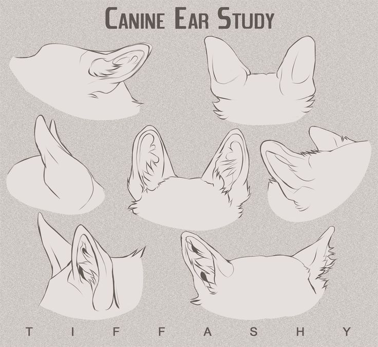 Canine Ear Study/Tutorial by TIFFASHY.deviantart.com on @DeviantArt