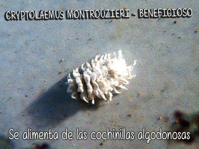 M s de 25 bellas ideas sobre la cochinilla en pinterest for Eliminar cochinilla algodonosa