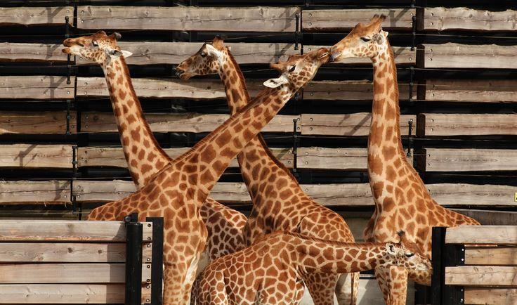 Girafes du Parc Zoologique de Paris © Manuel Cohen - MNHN