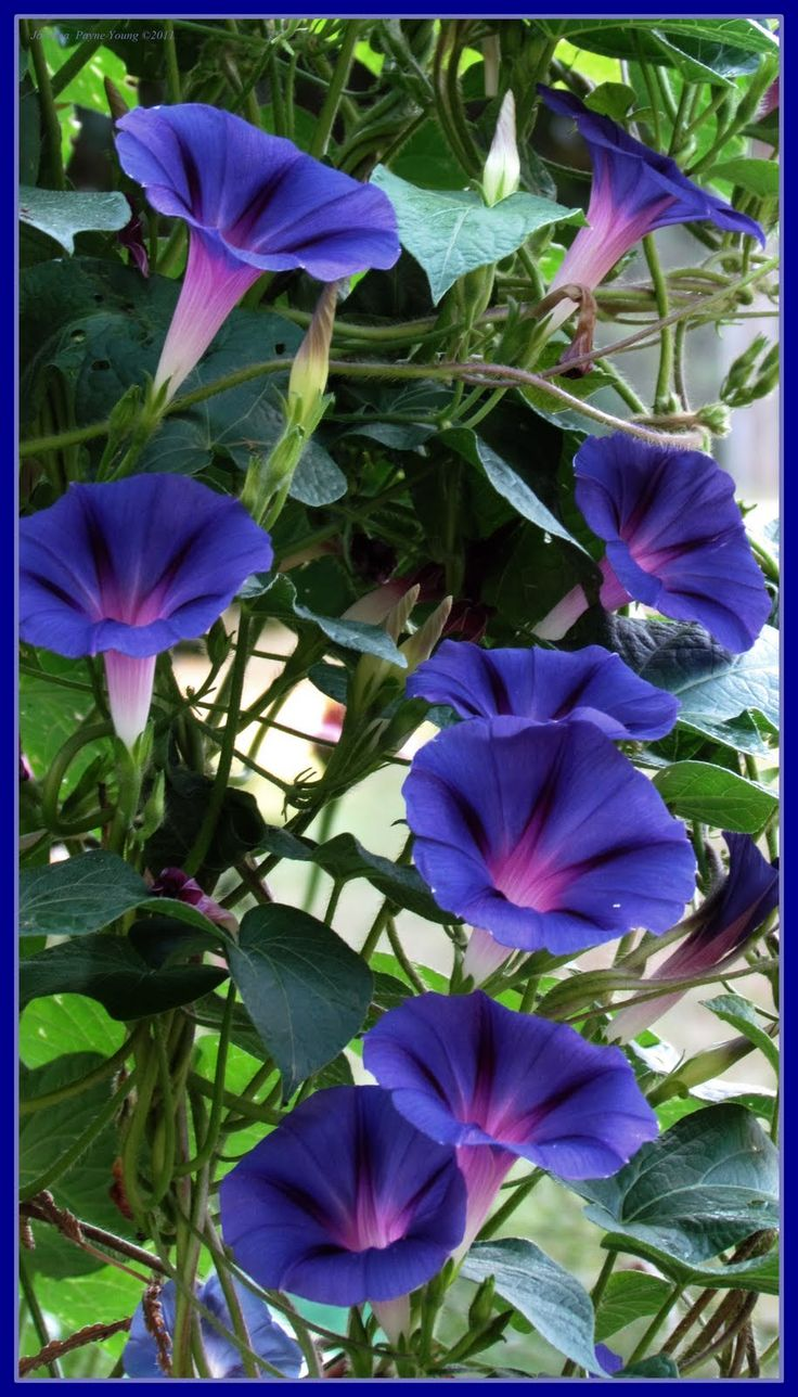 "Morning Glories - or as my Grandfather used to greet me each day ""MorninGLaurie""!"