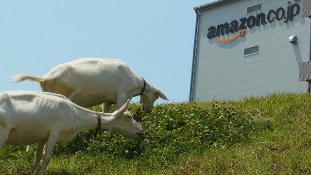 """Depois do Google, agora foi a vez da Amazon colocar cabras para cuidar dos gramados do seu centro de distribuição em Gifu, no Japão. Curioso é que elas """"trabalham"""" usando crachás! (Gizmodo)"""