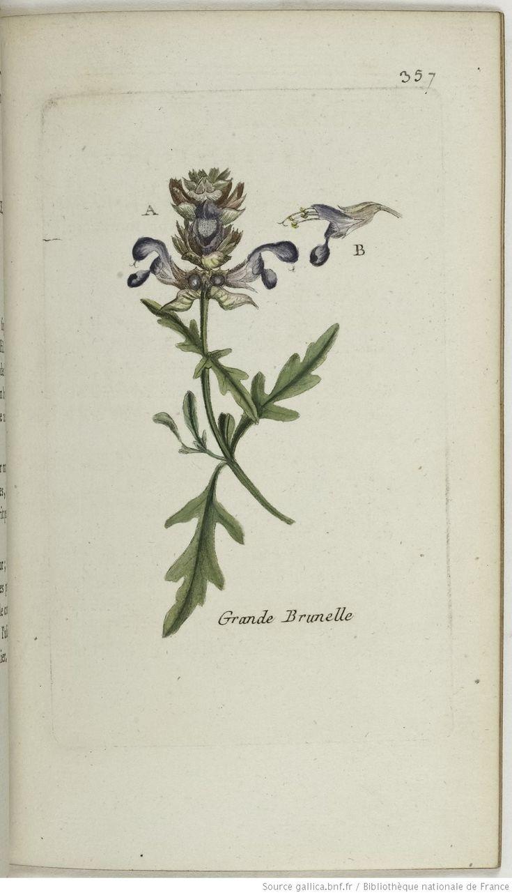 BRUNELLA - Brunella laciniata. La brunelle découpée / La grande brunelle