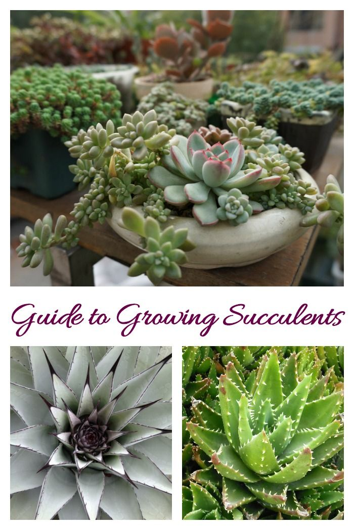 How To Care For Succulents Succulent Plant Care Growing Succulents Succulents Growing Succulents Planting Succulents