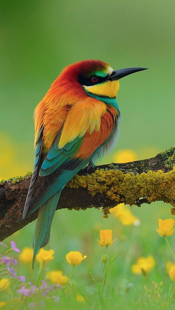 https://flic.kr/p/nQNecC | bird_bee-eater_branch_flower_59917_640x1136