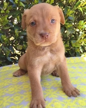 Meet Bea - 7 weeks old, an adoptable Retriever looking for a forever home. If you're looking for a new pet to adopt or want information on how to get involved with adoptable pets, Petfinder.com is a great resource.
