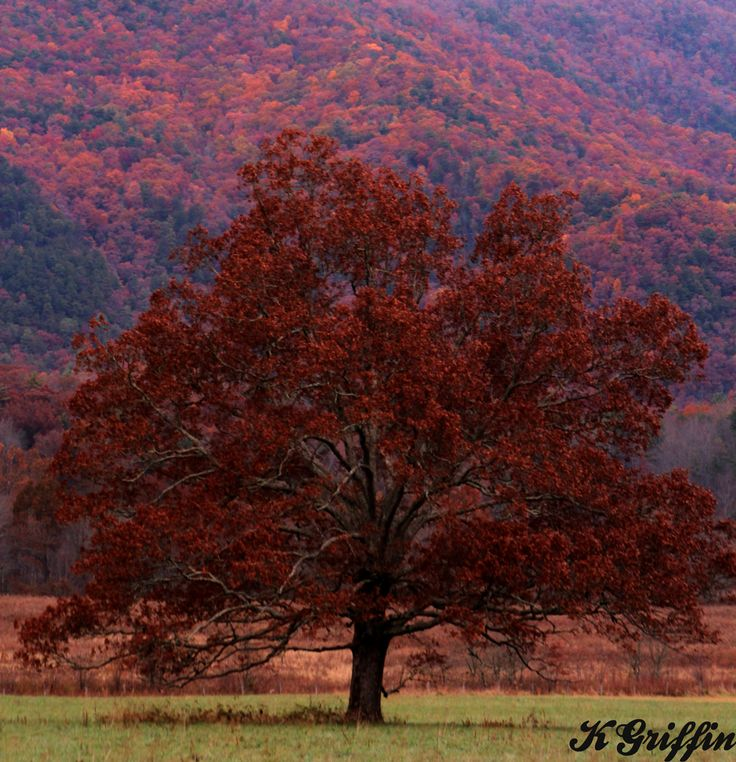 The Tree in Cades Cove 11/2/13