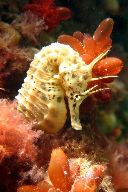 Cute seahorse :) by Saspotato