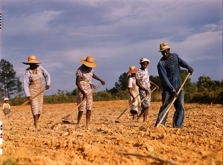 """CELEBRATING """"AFRICAN-AMERICAN HISTORY"""" """"Land Sharecropping - Cotton"""" On this shot shows four women and a man all wearing straw hats to protecting themselves from the sun as they are chopping cotton on a plantation in Louisiana."""