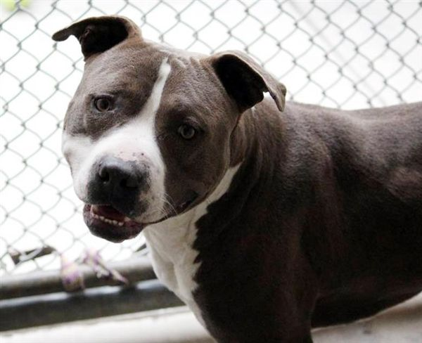 Adopt Cooper On With Images Pitbull Terrier Dogs