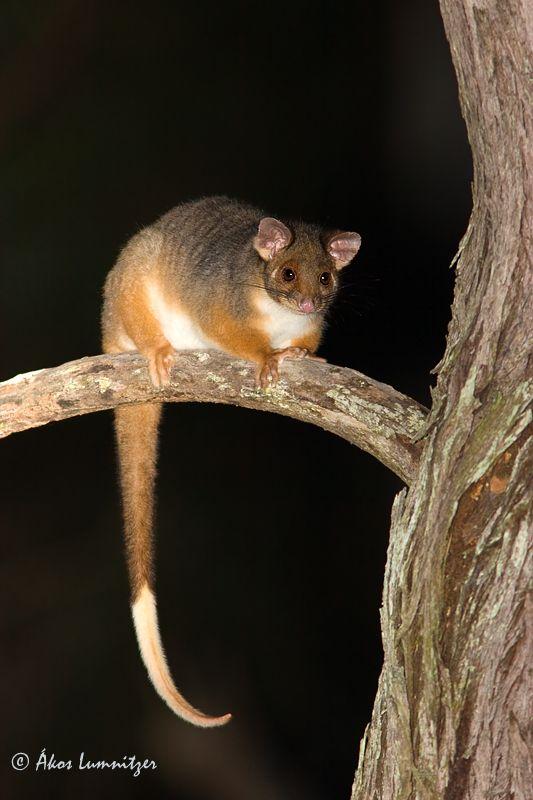 Australian Western Pygmy Possum Aww Rare Animals