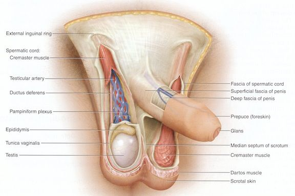 Anatomy and physiology of penis