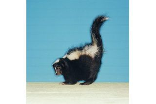 1000 ideas about skunk smell on pinterest skunk smell remover skunk smell in house and skunk. Black Bedroom Furniture Sets. Home Design Ideas
