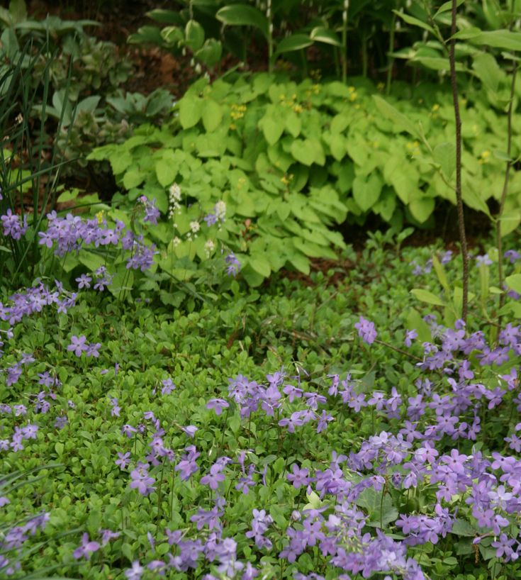 100 best images about groundcovers on pinterest gardens for Perennial ground cover plants for sun