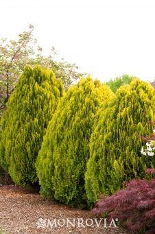Dwarf Golden Arborvitae (Thuja orientalis 'Aurea Nana') - Monrovia - Dwarf Golden Arborvitae (Thuja orientalis 'Aurea Nana') Slow growing to 4 to 6 ft. tall. On either side of Lattice panel by back fence