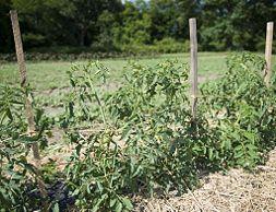 Stake Tomato Plants - wikiHow